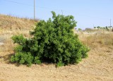 Alfarrobeira (Ceratonia siliqua) /|\ Carob tree