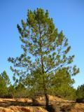 Pinheiro-bravo (Pinus pinaster) /|\ Maritime Pine