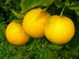 Laranjas (Citrus sinensis) // Oranges