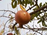 Romã // Pomegranate (Punica granatum)