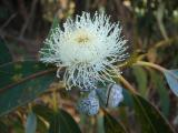 Flor do Eucalipto /|\ Eucalyptus Flower