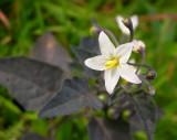 Erva-moura // Deadly Nightshade (Solanum nigrum)