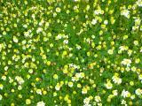 Margaça-de-Inverno (Chamaemelum fuscatum)