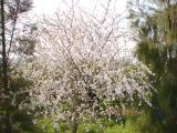 Amendoeira em Flor // Almond Blossom (Prunus dulcis)