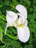 Lírio-branco (Iris albicans)