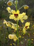 Verbasco Amarelo // Pale Rose Mullein (Verbascum barnadesii)