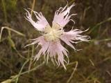 Cravinho-bravo (Dianthus hinoxianus)