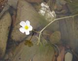 Ranúnculo-aquático (Ranunculus baudotii)