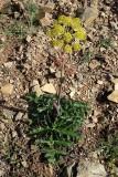 Tápsia (Thapsia villosa)