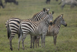 Zebra Family2-MF.jpg