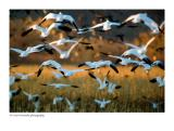 Snow Geese over corn field