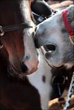 Livestock auction gossip.