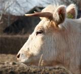 Cow number 0469