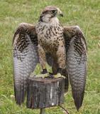 Falconers Falcon