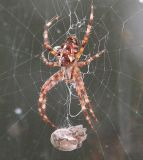 Spider with husband