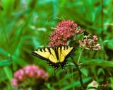 Eastern Tiger Swallowtail (130L)