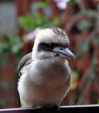Kookaburra on the verandah.jpg