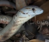 Lizards of Australia (Pygopodidae)