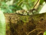 G10_1111-Edit.jpg Mission Golden-eyed Tree Frog - Durrell Conservation Trust, Trinity - © A Santillo 2011