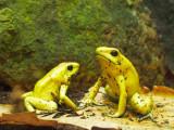 G10_1115.jpg Golden Poison Frog - Durrell Conservation Trust, Trinity - © A Santillo 2011 - © A Santillo 2011