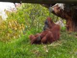 G10_1135.jpg Sumatran Orangutan - Durrell Conservation Trust, Trinity - © A Santillo 2011 - © A Santillo 2011