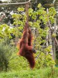 G10_1141.jpg Sumatran Orangutan - Durrell Conservation Trust, Trinity - © A Santillo 2011 - © A Santillo 2011