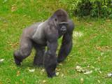 G10_1151.jpg Gorilla - Durrell Conservation Trust, Trinity - © A Santillo 2011 - © A Santillo 2011