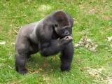 G10_1153.jpg Gorilla - Durrell Conservation Trust, Trinity - © A Santillo 2011 - © A Santillo 2011