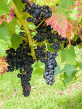 G10_1071-Edit.jpg Pinot Noir grapes, La Mare Wine Estate - St Mary - © A Santillo 2011