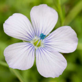 IMG_6203.jpg Unknown flower - Clarence Battery, Saint Peter Port - © A Santillo 2014