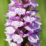 IMG_6382-Edit.jpg Common spotted Orchid - Bridget Ozanne's Ochid Fields, Saint Peter's - © A Santillo 2014