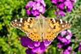IMG_6976.jpg Butteryfly sunbathing? - Samarès Manor, St Clements - © A Santillo 2016