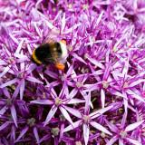 IMG_6977.jpg Bee collecting pollen from an Allium - Samarès Manor, St Clements - © A Santillo 2016