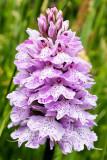 IMG_7023.jpg Pyramidal Orchid - Clos de Seigneur Meadow, Chemin de l'Ouziere, St Ouen - © A Santillo 2016