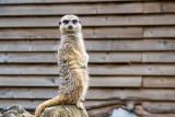IMG_7041.jpg Slender-tailed Meerkat - Durell Wildlife Park, La Profonde Rue, Trinity - © A Santillo 2016