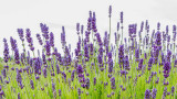 IMG_7119-Edit.jpg Lavender - Jersey Lavender Farm - Rue du Pont Marquet, St Brelade - © A Santillo 2016