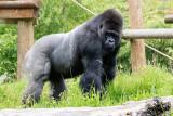 img_7045.jpg Gorilla - Durell Wildlife Park, La Profonde Rue, Trinity - © A Santillo 2016