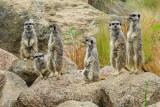 img_7048.jpg Slender-tailed Meerkat - Durell Wildlife Park, La Profonde Rue, Trinity - © A Santillo 2016