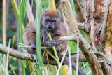 img_7057.jpg Alaotran Gentle Lemur - Durell Wildlife Park, La Profonde Rue, Trinity - © A Santillo 2016