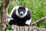 img_7059.jpg Black and White Ruffed Lemur - Durell Wildlife Park, La Profonde Rue, Trinity - © A Santillo 2016