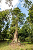 IMG_7197.jpg Giant Redwood, Killerton Gardens - Devon - © A Santillo 2016