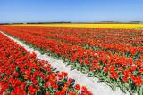 IMG_6055.jpg Field of tulips - Saint-Jean-Trolimon Brittany France - © A Santillo 2014