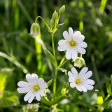 IMG_6080.jpg Greater Stitchwort - Stellaria Holostea - Plomelin Brittany France - © A Santillo 2014