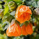IMG_4823.jpg Malvaceae Abutilon x hybridum - RHS Garden Wisley, Wisley - © A Santillo 2013