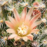 IMG_4844a.jpg Mammillaria Boscasana - RHS Garden Wisley, Wisley - © A Santillo 2013