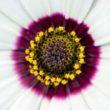 IMG_4885.jpg Cape Daisy or Namaqualand Daisy - South Africa - Nymans NT, Handcross - © A Santillo 2013