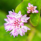 IMG_4887.jpg Unknown flower - Nymans NT, Handcross - © A Santillo 2013