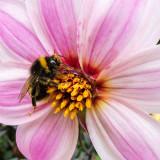 IMG_6738-Edit.jpg Bee on Dahlia, Ventnor Bortanical Gardens - St Lawrence Ventnor - © A Santillo 2015