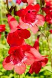 IMG_6844.jpg Unknown flower, Mottistone Manor Garden, Mottistone - © A Santillo 2015