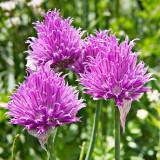 _MG_1061-Edit.jpg Unknown flower - Monte Bianco, Courmayeur, Valle d'Aosta - © A Santillo 2006